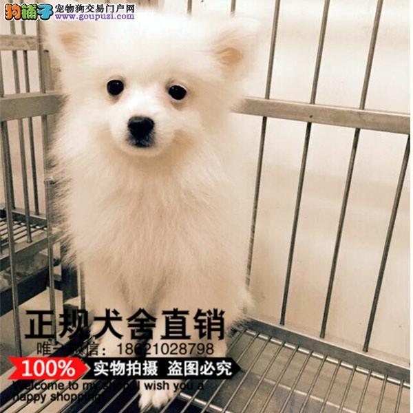 上海纯种血系银狐幼犬骨量超大超帅气CKU血统健康疫苗