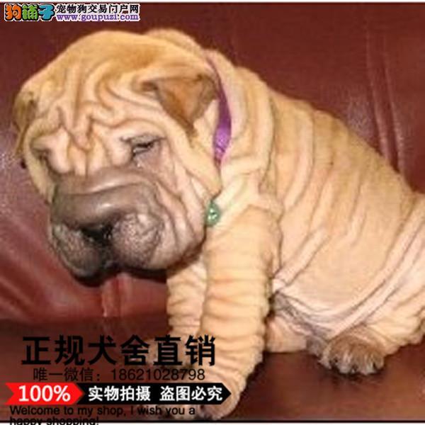 上海超可爱的沙皮幼犬 适应能力强 血统纯正 聪明好训