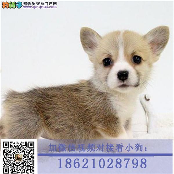 杭州纯种威尔士柯基幼犬 包售后 保纯种可签订协议