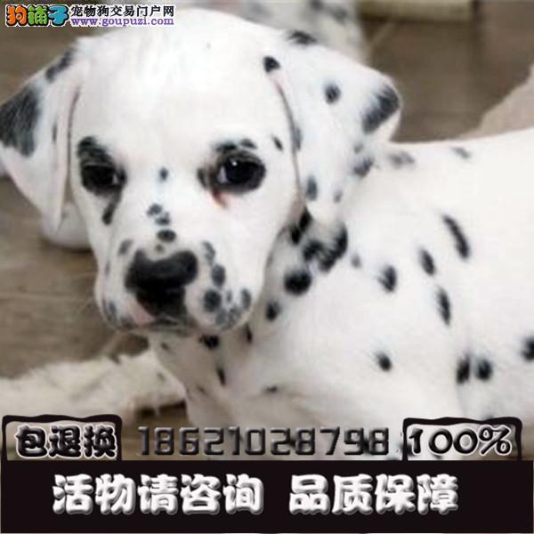 杭州总狗场直销 纯种可爱斑点幼犬 保纯保健康全国