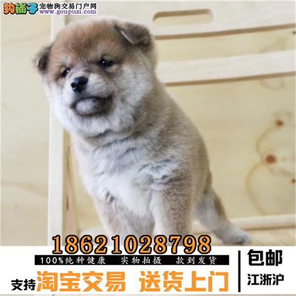世界上最忠诚的犬纯种健康的柴犬幼犬活泼靓丽