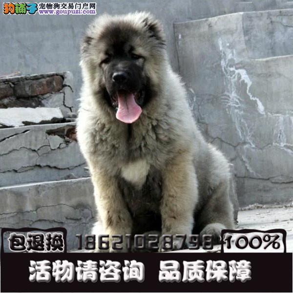 犬舍专业繁育精品幼犬一包纯种包健康包售后疫苗已打