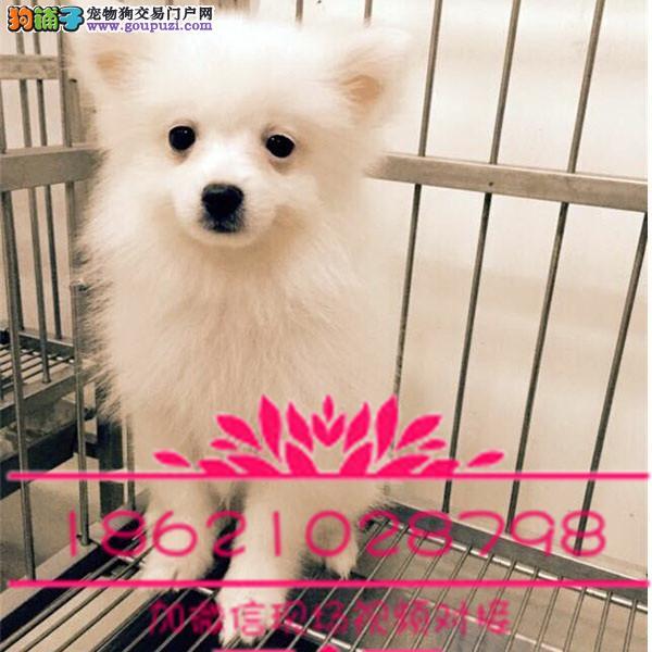 杭州日本尖嘴银狐幼犬 温和聪明 好机灵 保证纯种健康