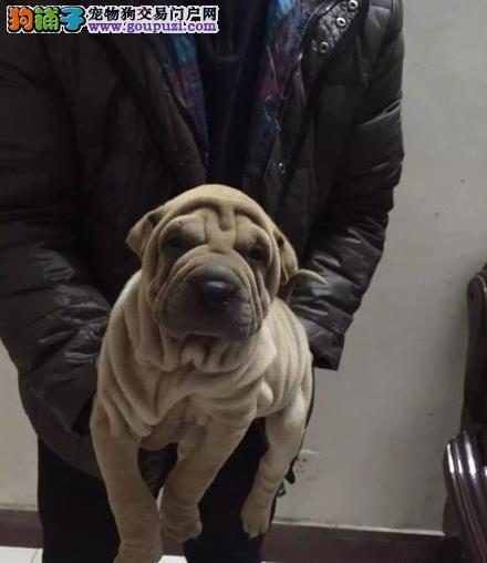 永盛犬业十多年的繁殖经验 纯种沙皮犬 同城免费送狗
