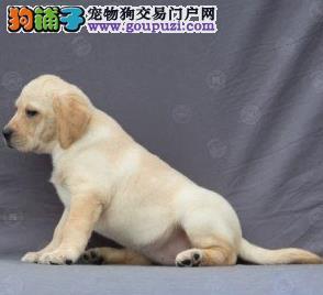 永盛犬业十多年的繁殖经验纯种拉布拉多犬同城免费送狗