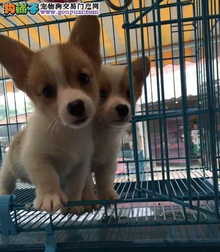 永盛犬业十多年的繁殖经验 纯种柯基犬 同城免费送狗