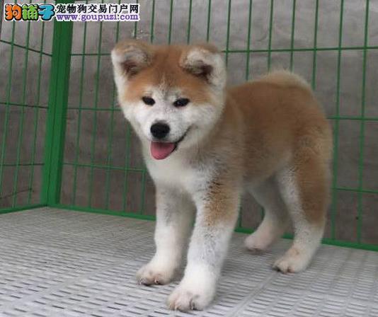 永盛犬业十多年的繁殖经验 纯种秋田犬 同城免费送狗