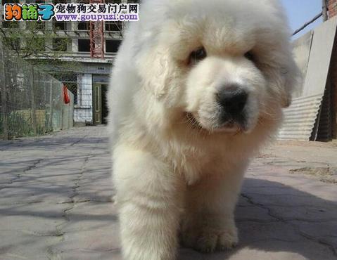 永盛犬业十多年的繁殖经验 纯种大白熊犬 同城免费送狗