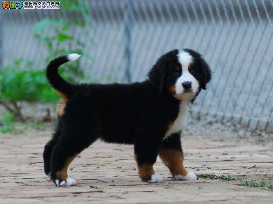 永盛犬业十多年的繁殖经验 纯种伯恩山犬 同城免费送狗
