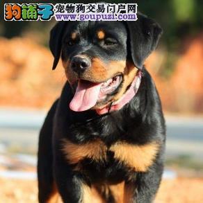 高品质顶级罗威纳幼犬 实物拍摄三年质保低价出售