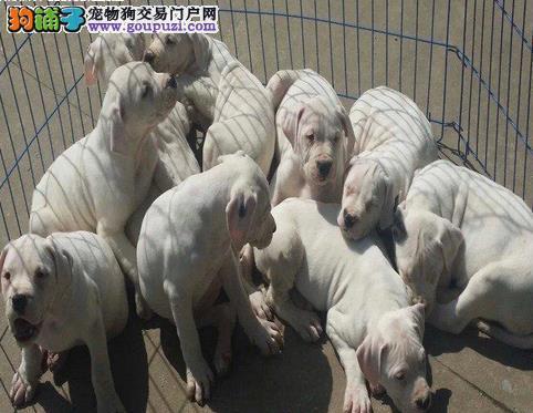永盛犬业十多年的繁殖经验 纯种杜高犬 同城免费送狗