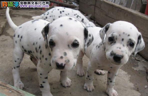 盛诚犬业十多年的繁殖经验 纯种斑点犬 同城免费送狗