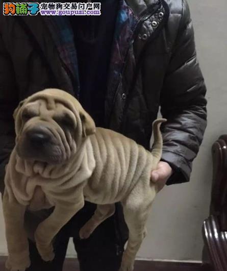 盛诚犬业十多年的繁殖经验 纯种沙皮犬 同城免费送狗