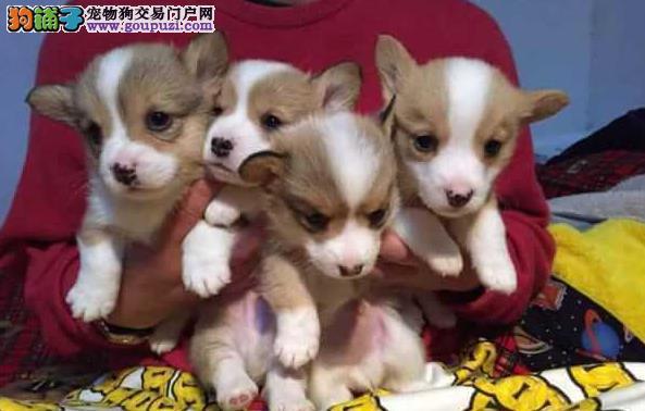 盛诚犬业十多年的繁殖经验 纯种柯基犬 同城免费送狗