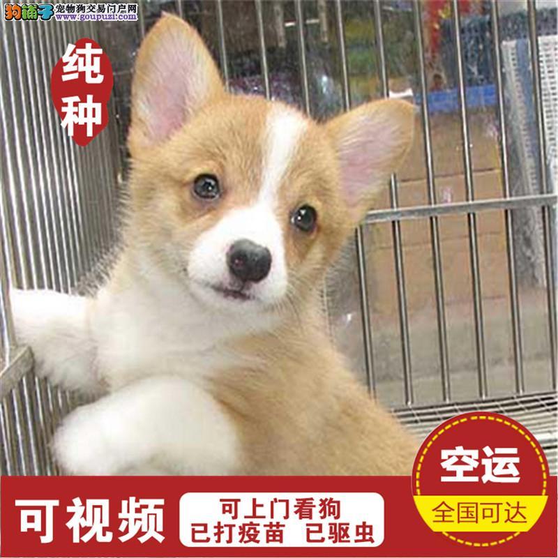 精品柯基幼犬CKU认证犬场可签订活体协议纯种健