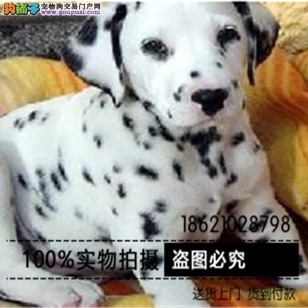 犬舍直销听话的斑点宝宝/CKU认证品质健康绝对保证