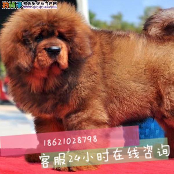 纯种大狮头长毛藏獒霸气十足五折转让签订协议三月退
