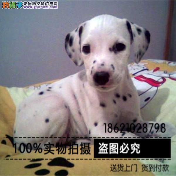 犬舍直销听话的斑点宝宝/CKU认证品质绝对保证
