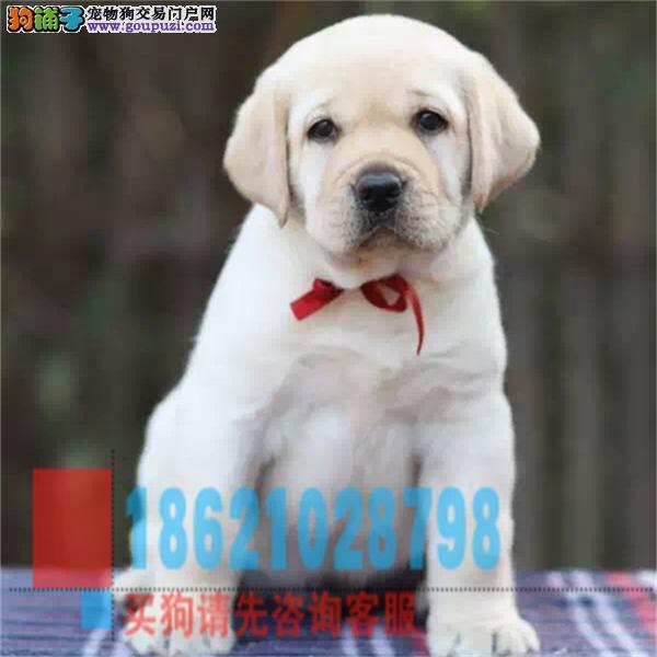 江苏拉布拉多幼犬 神犬小七 导盲犬家庭伴侣犬陪伴小孩