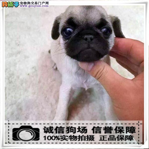 犬舍诚信出售 高品质纯种健康 八哥犬 可送货签协议