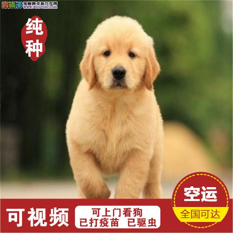 金毛犬纯种幼犬出售巡回猎犬导盲犬赛级宠物狗狗