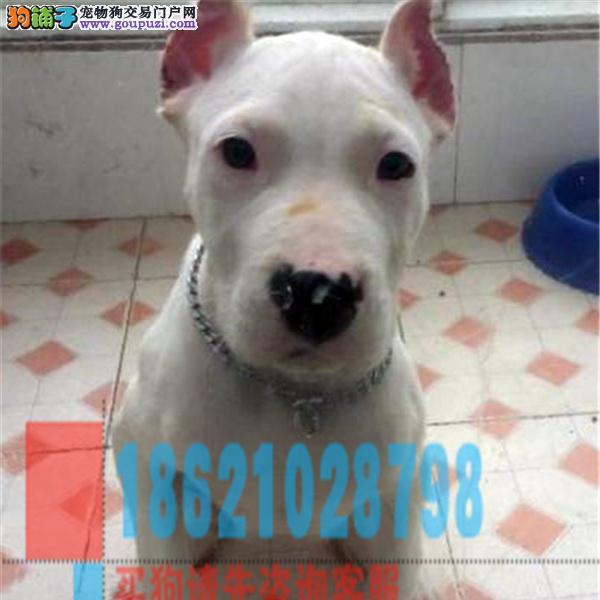 浙江基地出售纯种杜高杜高幼犬赛级杜高犬已做疫苗驱虫
