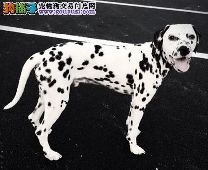 纯种犬繁殖基地,顶级精品斑点狗幼犬,签订活体协议