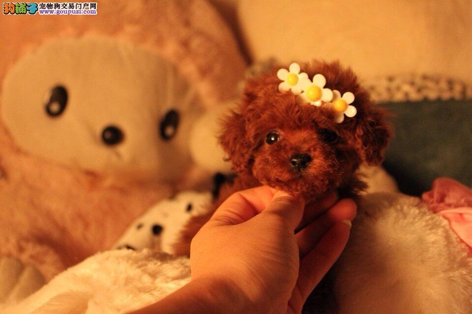 精品泰迪犬出售,纯白色黑色棕色多样可选,疫苗做完!
