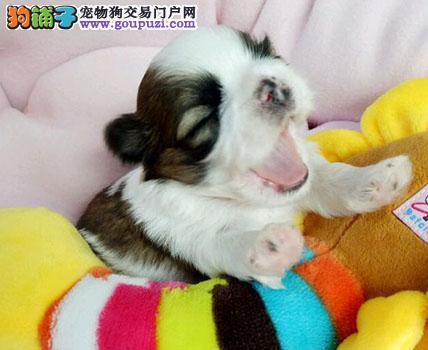 高雅气质西施犬玩赏犬伴侣犬的首选,疫苗驱虫全做完了