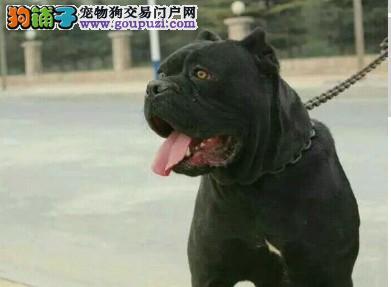 铜川自家狗场繁殖直销卡斯罗犬幼犬下单有礼全国包邮