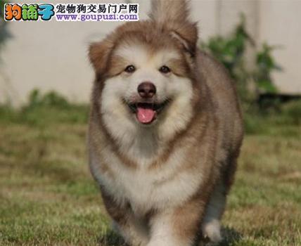 顶级巨型阿拉斯加幼犬,十字架,阿拉斯加犬舍专业繁殖