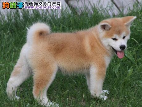 犬舍直销精品秋田犬,证书芯片齐全,可以签订协议,保活