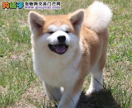 直销美系日系秋田犬,CKU认证,保纯度,保健康签署协议!