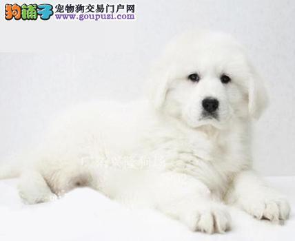 犬舍直销纯种大白熊/ 有证书/ CKU认证 /保证纯种健康!