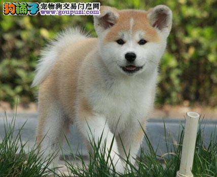 犬舍直销北京出售忠犬八公原型 精品日系美系秋田幼犬
