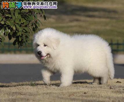 冠军级血系 大白熊幼犬 签协议 健康纯种血统 高贵气质