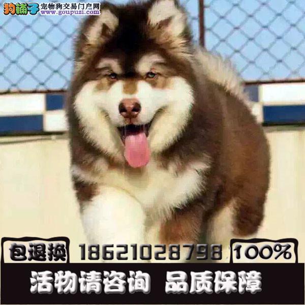 犬舍出售纯种健康可爱活泼一萌犬宝宝包纯种包健康