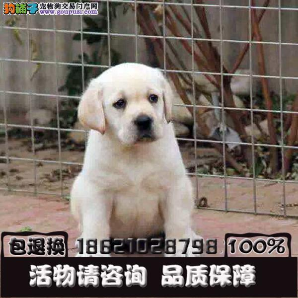 拉布拉多 纯种优秀的名犬 国内最大的宠物繁殖基地