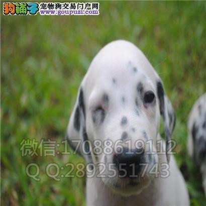 斑点犬 斑点犬舍 斑点犬价格 斑点犬图片 斑点犬多少钱