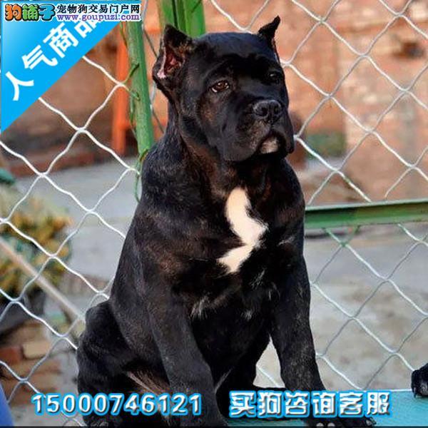 头版卡斯罗幼犬 高价护卫犬品相超好 带有血统芯