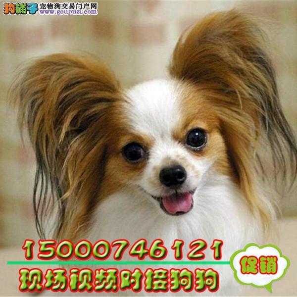 新生蝴蝶犬小狗式花色很对称 小狗很活泼可带走啦