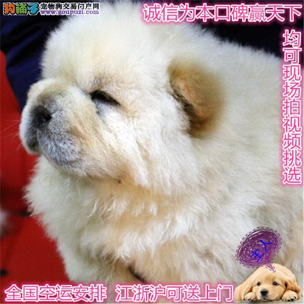 高端松狮犬繁育专家上海松狮犬舍出售顶级松狮幼犬
