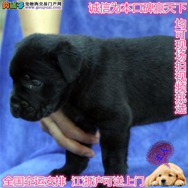 卡斯罗犬舍出售高端纯血统重头版大骨量卡斯罗幼犬