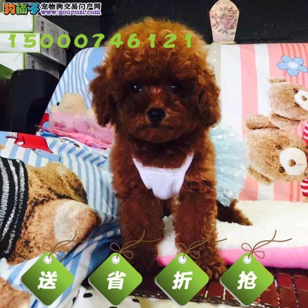 纯种赛级茶杯泰迪犬 红色泰迪幼犬出售玩具泰迪