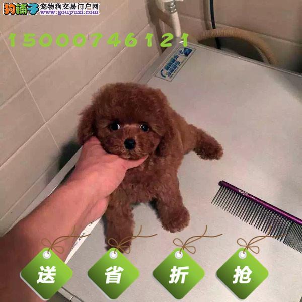 苏州纯种赛级茶杯泰迪犬 红色泰迪 出售玩具泰迪带证