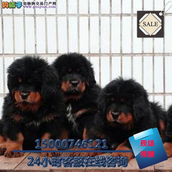 苏州纯种大狮头长毛藏獒霸气十足 签订协议