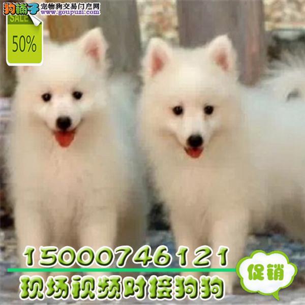 江苏纯种血系银狐幼犬骨量超大超帅气CKU血统健康疫苗