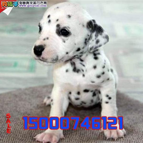 江苏精品斑点幼犬 CKU认证血统 质量三包 完美售后