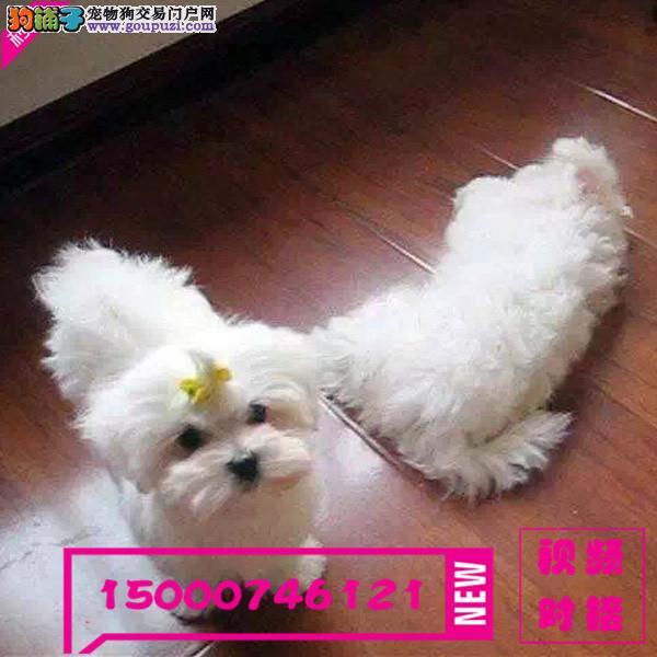 江苏出售纯种马尔济斯幼犬 健康保证信誉保证诚信保证