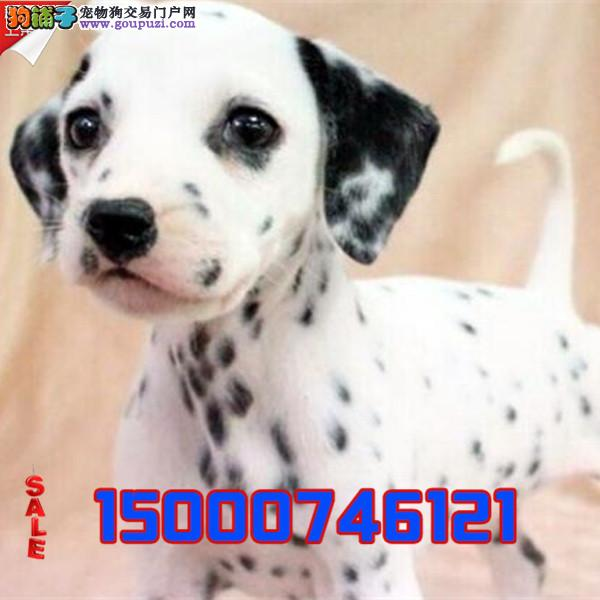 浙江高端 大气 斑点狗 纯种繁殖 大麦町犬气质不凡